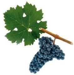 Cabernet Sauvignon grape, child of Cabernet Franc & Sauvignon Blanc
