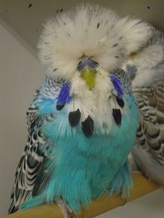 Parakeets, Parrots, Happy Animals, Animals And Pets, Show Budgies, English Budgie, Little Critter, Cute Birds, Colorful Birds