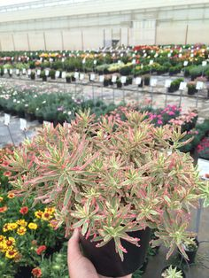 1Gallon Euphorbia First Blush