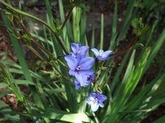 Moreia-Azul (Aristea ecklonii)