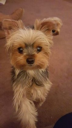 The Popular Pet and Lap Dog: Yorkshire Terrier - Champion Dogs Yorkies, Yorkie Puppy, Poodle Puppies, Havanese Puppies, Rottweiler Puppies, Yorky Terrier, Yorshire Terrier, Cute Puppies, Cute Dogs