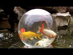 Fish bowl on your pond! Cool idea!