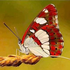Some of my favorite butterfly images! Papillon Butterfly, Butterfly Pictures, Butterfly Kisses, Butterfly Flowers, Butterfly Wings, Float Like A Butterfly, White Butterfly, Flying Insects, Bugs And Insects