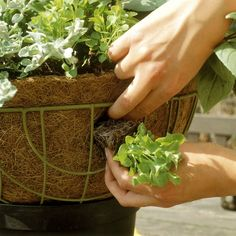 Container Gardening Ideas Plant a Flowering Hanging Basket: Side planting for trailing baskets - Plant a flowering hanging basket like a professional does, for a fraction of the cost. Plants For Hanging Baskets, Hanging Flower Baskets, Hanging Planters, Hanging Vegetable Basket, Winter Hanging Baskets, Hanging Potted Plants, Hanging Gardens, Diy Hanging, Container Flowers