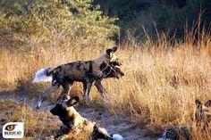 African Painted Wolf. Photo by Vivian Gernaert