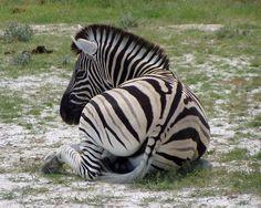 Free Photo: Zebra, Black And White Striped - Free Image on Pixabay ...