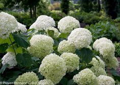 Incrediball Smooth Hydrangea hydrangea arborescens incrediball 'Abetwo' PP Incrediball hydrangea plants exhibit an upright growth habit and will reach a height of feet tall, with a similar Planting Flowers, Plants, Flowering Shrubs, Smooth Hydrangea, Perennials, Planting Hydrangeas, Shrubs, Arborescens, Live Plants