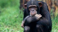"""EUA limitam uso de chimpanzés em pesquisas científicas - """"Os chimpanzés são nossos parentes mais próximos no reino animal e proporcionam informação excepcional na biologia humana, por isso é necessário uma especial consideração e respeito"""""""