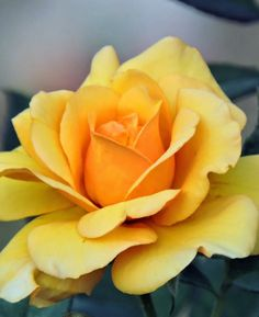 Yelllow rose, guess the meaning of yellow rose ??