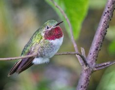 Broad-Billed Hummingbird  by Bob Decker