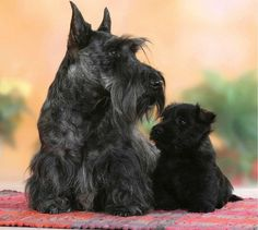 "Scottish ""Scottie"" Terrier"