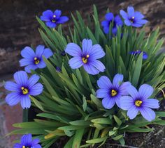 Looks can be deceiving  . Devon Skies Blue-Eyed Grass is technically not an ornamental grass. The grass-like foliage forms compact clumps that are topped with bright blue star shaped  flowers with gold centers. Tolerates heat and humidity. The long bloom time make it the perfect plant for the front of a perennial border.  (Zone 7-10) ( @EmilyxMonrovia ) . BONUS: attracts hummingbirds. . . . #EmilyxMonrovia #growbeautifully #monroviaplants #monrovianursery #monroviadevonskiesblueeyedgrass…