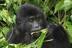 A gorilla baby in the Cloud Forest of Uganda