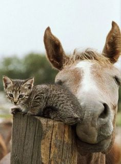 ♔ Kitten and horse ~ Best of friends