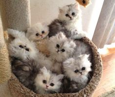 Chinchilla persian kitties