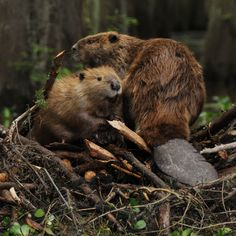 How they Returned    Beavers engineered a remarkable comeback, aided by their own energetic breeding rate and by people.    It is believed that more than thirty percent of all the plant species in the Adirondacks owe their lives to the beavers' efforts to shape their world. Beavers prefer the safety of a watery roof over their heads. Most animals can't remake the world...