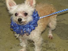 ADOPTED! AWESOME! Creeper -URGENT- Chihuahua & Terrier Mix • Senior • Male • Small. Richland County Dog Warden Mansfield, OH. Hi, I'm Creeper. I was full of fleas and have some hair loss because of all the fleas. I am already neutered so someone cared for me at some point. Hurry in to meet me so I can find a new home ASAP. I am available at the Richland County Dog Shelter in Mansfield, Ohio. Email is richlandcountydogs@yahoo.com  Phone is 419 774-5892 or 5893