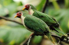 Ptilinopus jambu - Jambu-Fruchttaube - Jambu fruit dove | by Kowari