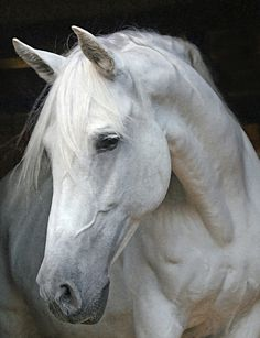 horses heads | andalusian horse head