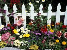 Mass of colour against the white picket  fence.                                              ****