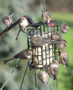 Simple Bird Treat Recipe Tried-n-True Simple Bird Treat Recipe- the birds will Flock to your backyard!Tried-n-True Simple Bird Treat Recipe- the birds will Flock to your backyard! Bird Suet, Suet For Birds, Pet Birds, Suet Cakes, Bird Food, Backyard Birds, Garden Birds, Parcs, Fauna