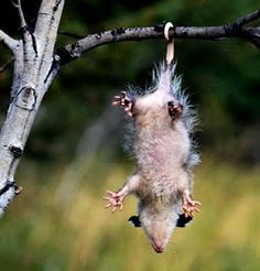 Opossums have prehensile tails which are adapted for grasping and wrapping around things like tree limbs. The opossum can hang from its tail for short periods of time, but the creature doesn't sleep hanging from its tail, as some people think. Opossums have been observed carrying bundles of grasses and other materials by looping their tail around them; this conscious control leads many to consider the tail as a fifth appendage, like a hand.