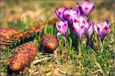 Przepiękna galeria krokusów z poprzedniej wiosny w Tatrach