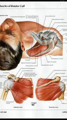Muscles Of The Rotator Cuff Human Body Anatomy, Human Anatomy And Physiology, Muscle Anatomy, Shoulder Anatomy, Muscle Diagram, Medical Anatomy, Shoulder Muscles, Rotator Cuff, Massage Techniques