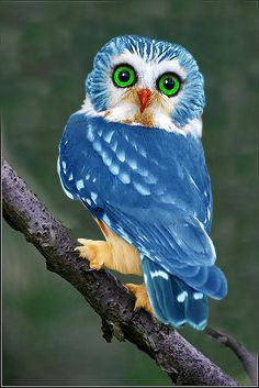 blue owl | #lifeadvancer | @lifeadvancer   Northern Saw-whet Owl colored blue (prettier in natural colors)