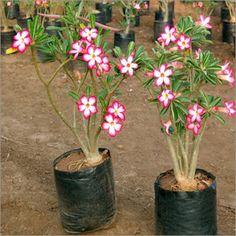 Adenium Obesum - ørkenrose