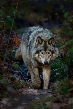 A gallery of timber wolf images and Arctic wolf images, many published in Canadian Geographic. Wolf prints available as fine art prints, canvas and metal Wolf Photos, Wolf Pictures, Animal Pictures, Wolf Images, Beautiful Creatures, Animals Beautiful, Cute Animals, Wild Animals, Baby Animals