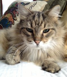Maine Coon cat rescued by my sister.
