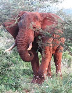 Red Elephant from the sand/mud to protect themselves from sun