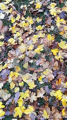 Photo about A closeup of yellow and brown leaves on grass. Image of textured, texture, grass - 133960526 Yellow And Brown, Autumn Leaves, Close Up, Grass, Gardening, Stock Photos, Texture, Image, Surface Finish