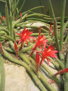 Disocactus martianus (HA! Great name.) …… It is endemic to Oaxaca in Mexico, though a rare species in the wild. The bright red flowers are diurnal and occur in summer, remaining open for a couple of days. ;( The flowers are followed by globose green fruits, ~2 cm diameter.