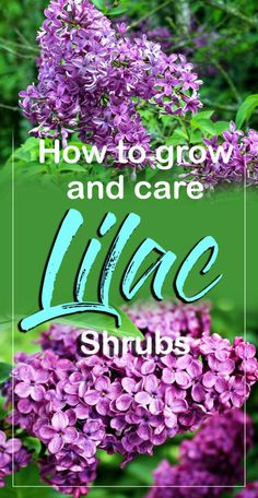 How to grow Lilac Shrubs, Growing Lilacs in containers, Lilac care, Suitable varieties. Lilac planted in the spring before being too cold or after the fall. Lilac Pruning, Growing Spring Onions, Lilac Plant, Small Backyard Landscaping, Landscaping Ideas, Landscaping Shrubs, Farmhouse Landscaping, Lilac Bushes, Mother Plant