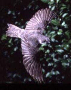 pássaro lilás