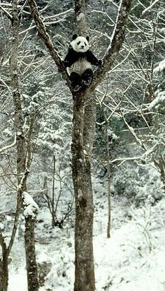 panda in a tree. I love images like this, I hope Pandas are around for the long haul Animals And Pets, Funny Animals, Cute Animals, Wild Animals, Baby Animals, Baby Pandas, Red Pandas, Strange Animals, Beautiful Creatures