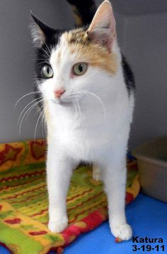 395586_10150704622179535_899847358_n by momiecat, via Flickr  Sweet Katura came in on St. Patrick's day 2011, but it hasn't brought her luck so far! This girl is an angel, quiet and sweet, dainty and kind, and has a beauty that shines! So isn't it time for Katura to shine? Please help Katura get to your home or rescue! Please make sure Katura is on the very next transport!    http://www.graysonhumane.org/animals/detail?AnimalID=3299125 — with Penny Gilbert at Grayson Co. HS - Leitchfield…