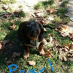 Hagerstown, Maryland - Dachshund. Meet Pearl Allred, a for adoption. https://www.adoptapet.com/pet/19711248-hagerstown-maryland-dachshund-mix