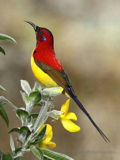 ルリオタイヨウチョウ Mrs. Gould's sunbird (Aethopyga gouldiae)