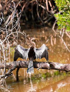 Anhinga drying its wings, Ding Darling National Wildlife Refuge, Sanibel Island, FL