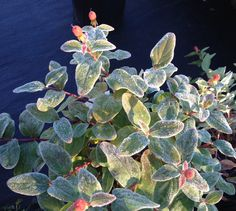 "Frosty Morning!  Hypericum ""Olivia"""