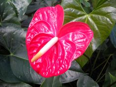 Types of Anthurium Flower | the are two groups of anthurium grown in greenhouses the only ones you ...