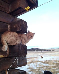 """Jerry's all like """"I think I'll hang out up here while those dogs are here if  everybody's cool with that.""""  #therestoringsimplehomestead #catsofinstagram #barncat #mouser  #homesteadlife #coloradogram http://ift.tt/22nF3PJ"""