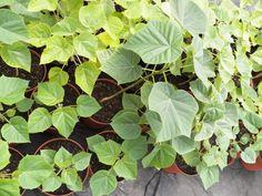 Návod na pěstování paulovnií   Paulownia kirl, tomentosa, shan tong, pao tong Z07, elongata, biomass Tonga, Plant Leaves, Plants, Plant, Planets