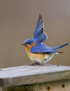 Eastern Bluebird, male, displaying  Im trying to get these in my back yard