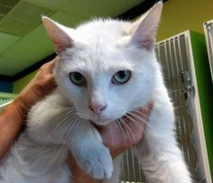 Jon Snow - URGENT - Carteret County Humane Society in Newport, North Carolina - ADOPT OR FOSTER - 5 year old Neutered Male Domestic SH