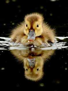 Ducklings are sooo cute :) Until they become huge and poop everywhere :\ And then get wild and fight with each other. Oh, ducks.