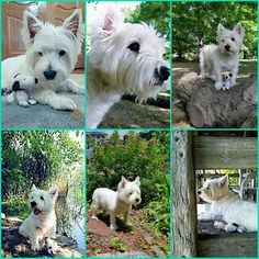 Handsome Colin, I wish he was mine♡♡♡♡. from a FB account Cutest Dog Ever, West Highland White, West Highland Terrier, White Terrier, Love Memes, Westies, Scottie, I Fall, Cute Dogs